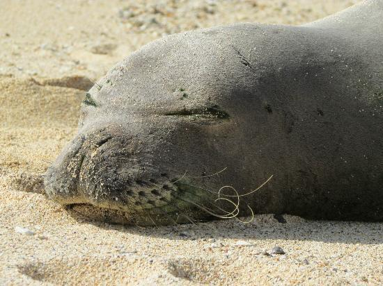 Kauai Cove : Monk Seal on nearby Poipu Beach