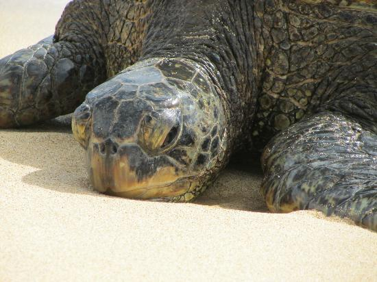 Kauai Cove Cottages: Sea Turtle on nearby Poipu Beach