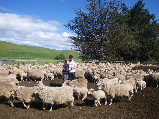 Tasmania I Drive: Sheep Farm Tour