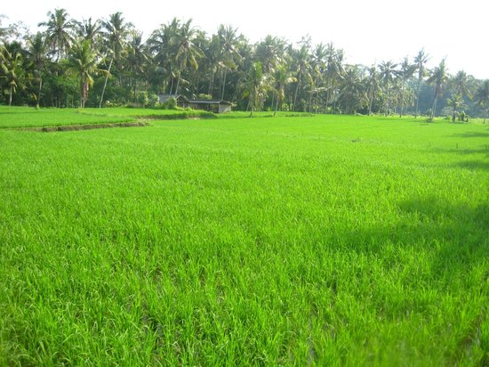 Bhanuswari Resort & Spa: Beautiful rice fields alongside the resort