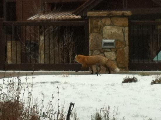 Grand Timber Lodge: view of fox from our patio