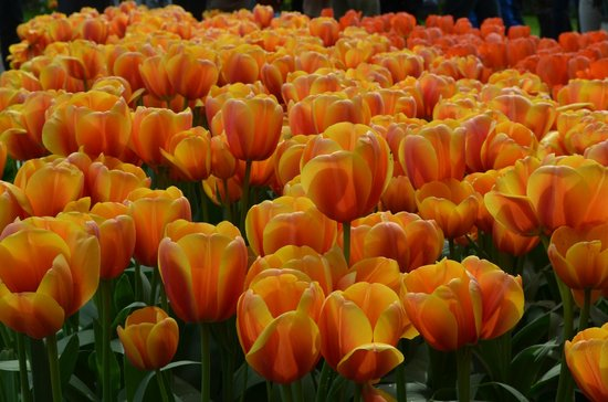 Keukenhof : tulips
