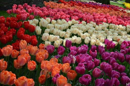 Keukenhof: sea of colors