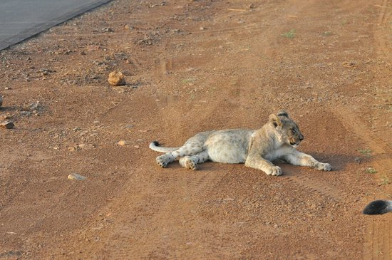 Tuningi Safari Lodge: Lion cub by the side of the road.