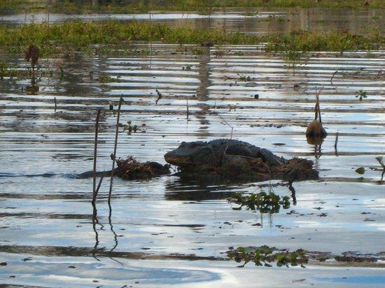 Cajun Country Swamp Tours Breaux Bridge La