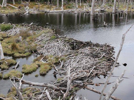 Parque Nacional Tierra del Fuego: Castoreira