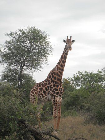 Pondoro Game Lodge: Giraffe