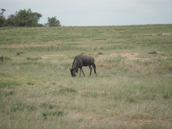 Pondoro Game Lodge: Wildabeest