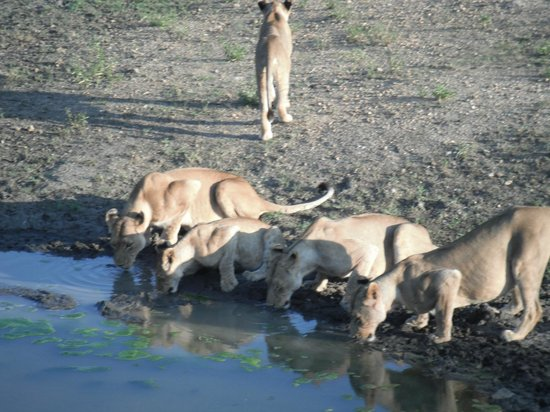 Pondoro Game Lodge: Lioness