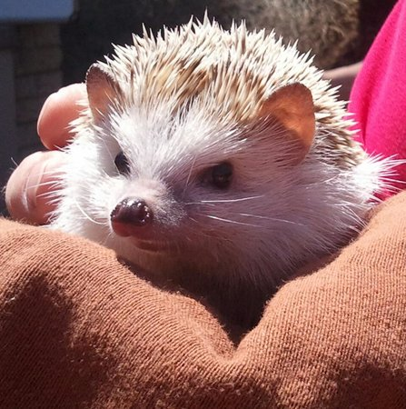 Living Desert Zoo & Gardens: hedge hog