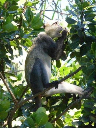 Ocean Village Club: Apes