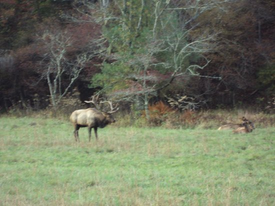 Applewood Manor Inn Bed & Breakfast: Elk in Cataloochee Valley