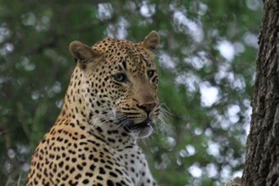 Londolozi Varty Camp: Leopard