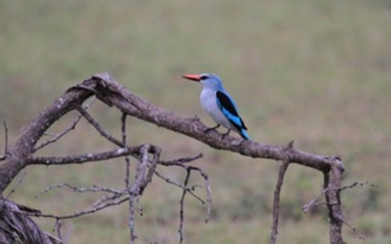 ‪‪Londolozi Varty Camp‬: Kingfisher