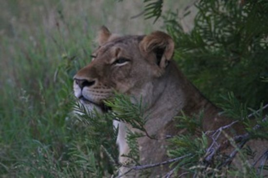 Londolozi Varty Camp: Female Lion