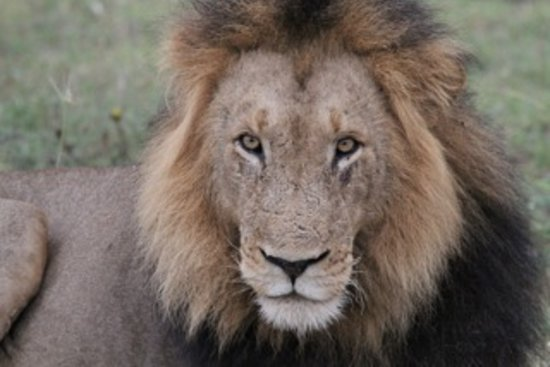 Londolozi Varty Camp: Male Lion