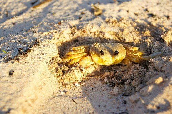 Shannas Cove Resort: Sand Crab