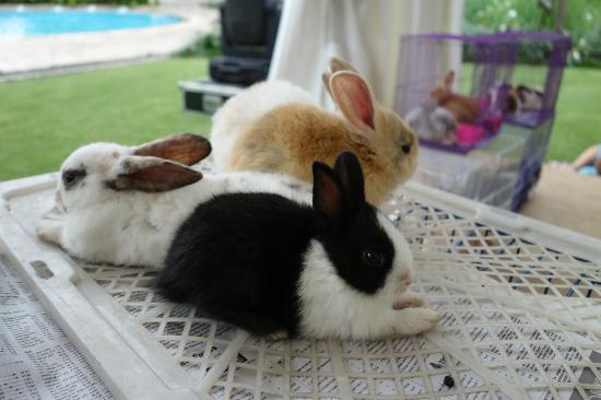 Shangri-La Hotel Jakarta: cute bunnies near the poolside
