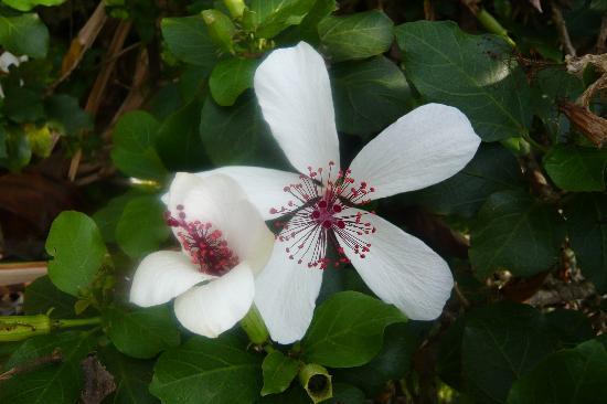Amy B.H. Greenwell Ethnobotanical Garden : Hibiscus