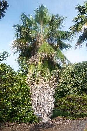 Amy B.H. Greenwell Ethnobotanical Garden : Wild Loulu palm (endangered species)