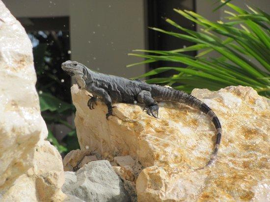 Coco Beach Resort : Iguana