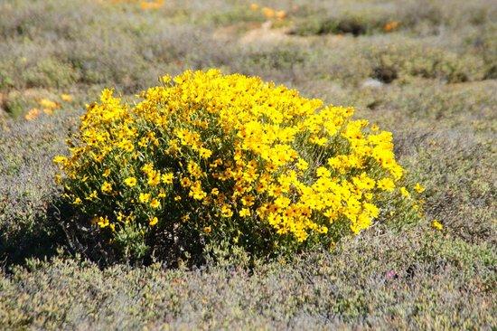 Namaqualand: bloemen