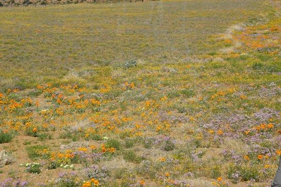 Namaqualand: in oktober wordt de bloemenzee uitgedund