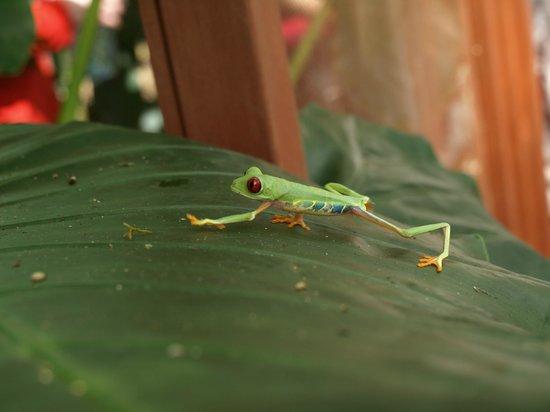 Puerto Viejo, Costa Rica: frog