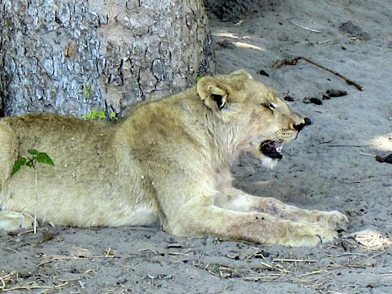 Chitabe Camp: Small lion