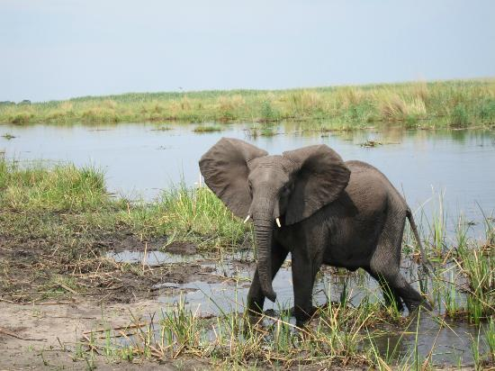 Wilderness Safaris Kings Pool Camp: Elephant