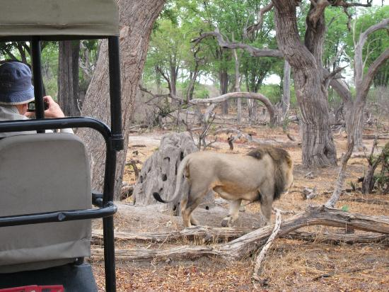 Wilderness Safaris Kings Pool Camp: Lion Up Close