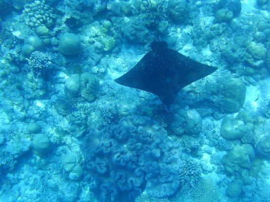 Kuramathi Island Resort: Eagle Ray