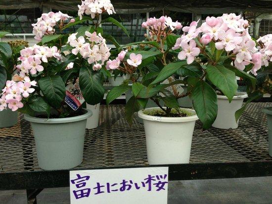 Kawaguchiko Herb Studio: 河口湖ハーブ館 | 富士のにおい桜