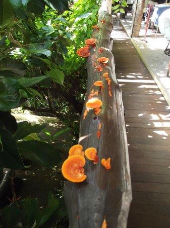 Phra Nang Inn: Funghi spuntati sul passamano di legno dopo la pioggia