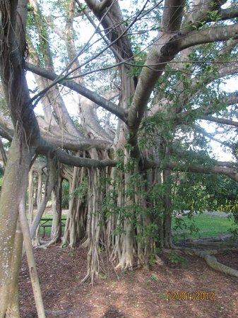 Deerfield Beach Arboretum: One really cool tree