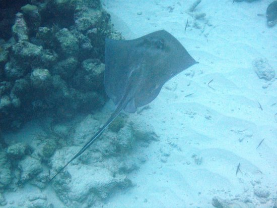 The Meridian Club Turks & Caicos: Stingray swims away from me
