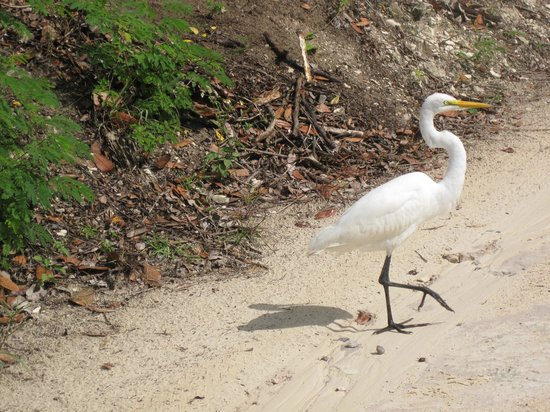 The Meridian Club Turks & Caicos: Egret prancing in front of my golf cart
