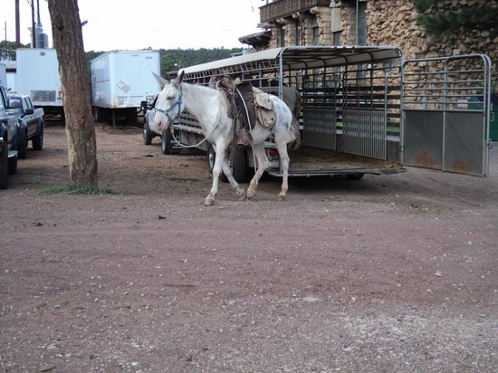 Geo Savvy Tours- Day Tours: Returning Mule Train South Rim grand Canyon National Park, Arizona