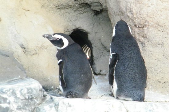 Aquarium of the Pacific: penguins