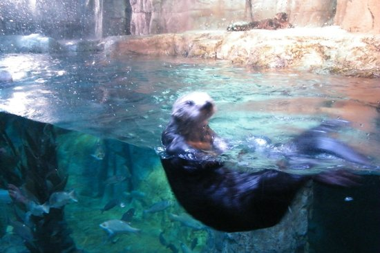 Aquarium of the Pacific: sea otter
