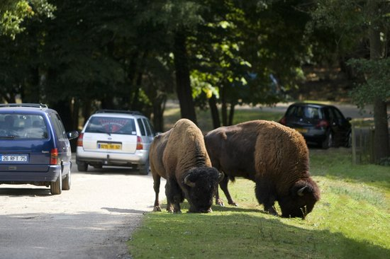 Thoiry, France: American Bison
