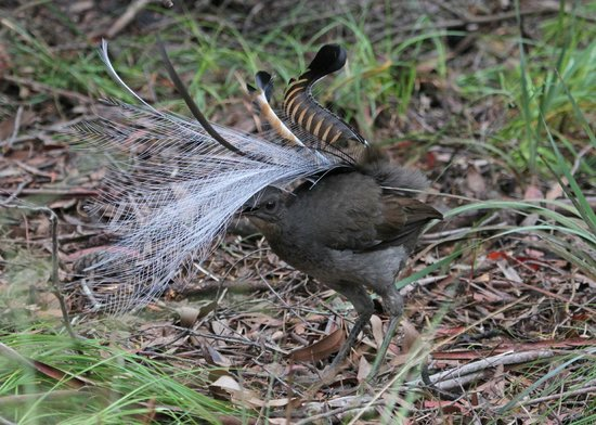 Jemby-Rinjah Eco Lodge: Superb Lyrebird display