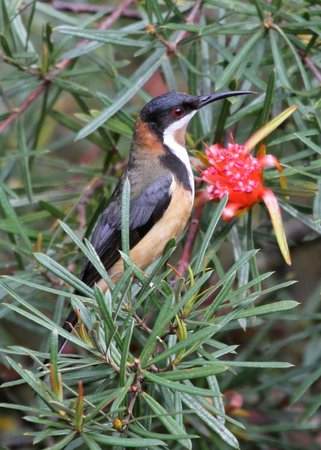 Jemby-Rinjah Eco Lodge : Eastern Spinebill