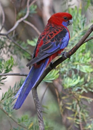 Jemby-Rinjah Eco Lodge: Crimson Rosella