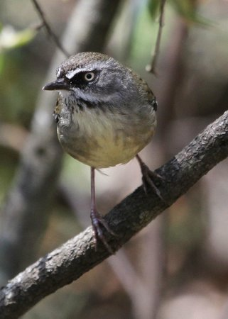 Jemby-Rinjah Eco Lodge: White-browed Scrubwren