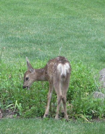Blue Spruce Bed and Breakfast: lots of young deer to be seen