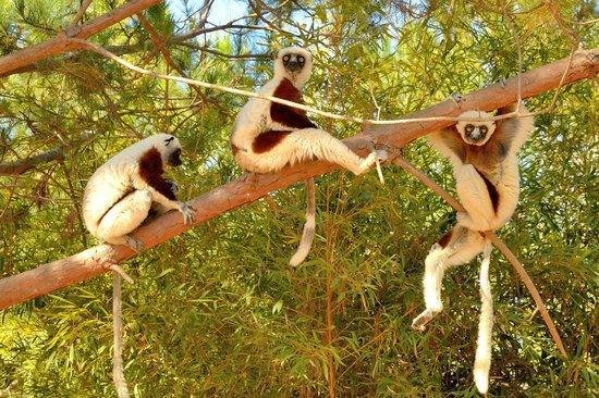Lemurs Park : Sifakas at Lemur Park
