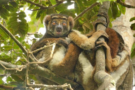 Andasibe-Mantadia National Park  (Reserve of Perinet) : There are other lemurs too like this wooly lemur