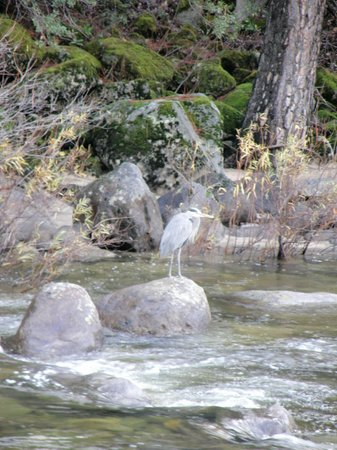 Yosemite View Lodge: Bird Fishing in River outside our Room