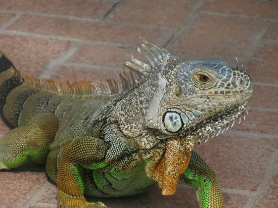 Velas Vallarta Suite Resort: The iguana female